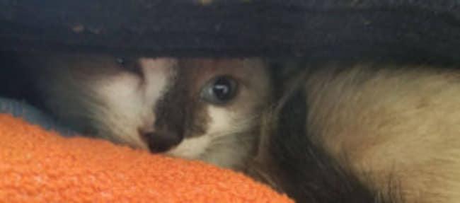 Kitten Lilly, gevonden zwemmend in het kanaal bij Dieverbrug